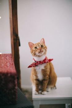 fancy dress pet